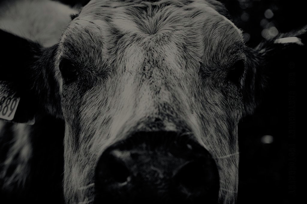 Cow – Learning